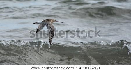 repülés · Saskatchewan · Kanada · kék · ég · tavasz · madár - stock fotó © pictureguy