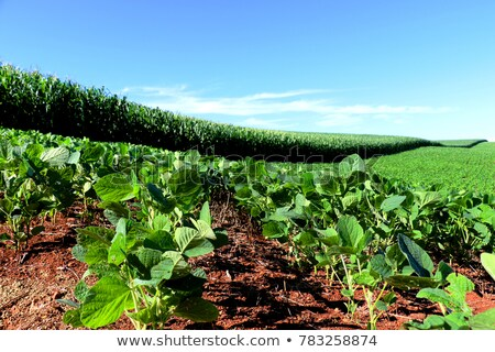 Agricultural scene, farmer in soybean field with money Stock photo © simazoran