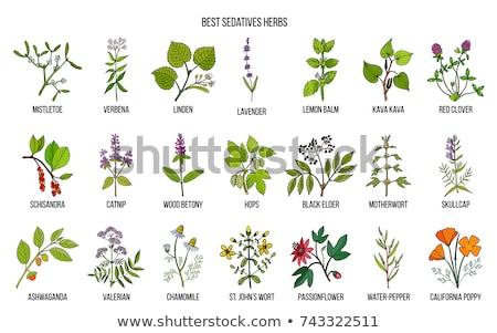 motherwort medicinal plant Stock photo © studiostoks