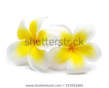 Flower frangipani on white background  Stock photo © dashapetrenko