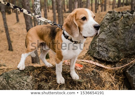 cute purebred beagle puppy with decorative handmade collar and leash stock photo © pressmaster