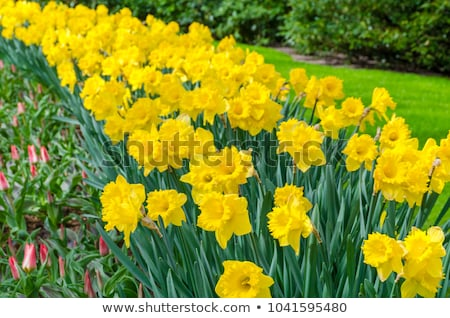Amarillo narciso flores primavera espacio de la copia flor Foto stock © neirfy