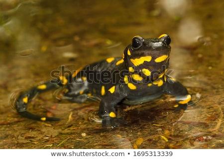 fire salamander or Salamandra salamandra Stock photo © Arsgera