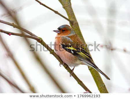 Male cahffinch bird sitting on the brach of a tree Stock photo © manfredxy