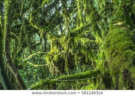 Mossy forest Cameron Highlands Stock photo © szefei