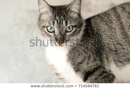 adorabile · gatto · grigio · occhi · ritratto · foto - foto d'archivio © feedough
