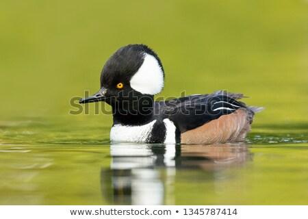 Kapucnis víz tükröződés madár toll tó Stock fotó © chris2766