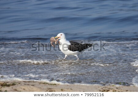 a seagull is eating crab stock photo © michaklootwijk