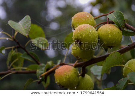 old wild pear stock photo © kornienko