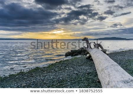 Driftwood wskazując ocean plaży późno Zdjęcia stock © dbvirago