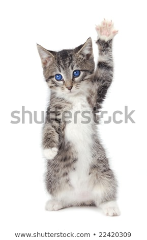 Blue Eyed Tabby Kitten with Paws Up Stock photo © dnsphotography