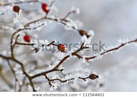 rose hips with hoar frost in winter Stock photo © meinzahn