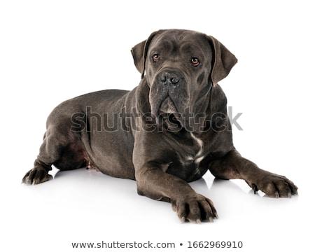 Italien mastiff blanche chien noir studio Photo stock © cynoclub