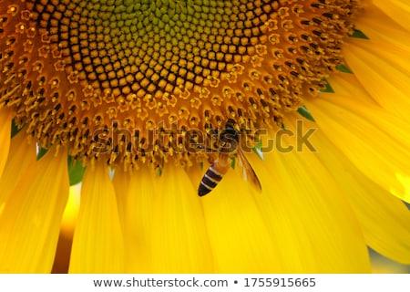 Stockfoto: Macro · bee · werken · zonnebloem · gezondheid