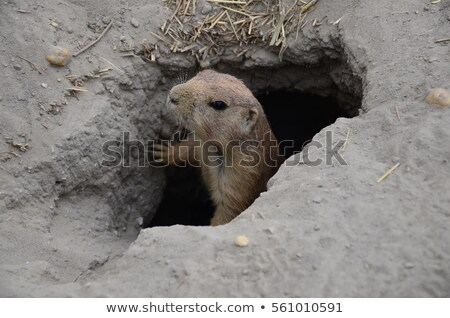 Curious marmot in a hole Stock photo © Nejron