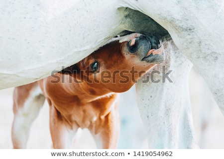 Horse foal sucking from mare Stock photo © stevanovicigor