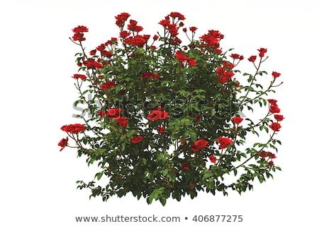 pembe · gül · goncası · bahçe · çiçek · gül · yaprak - stok fotoğraf © cherezoff