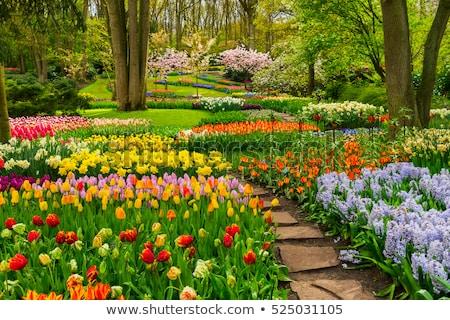 yellow tulip flower garden springtime Stock photo © goce