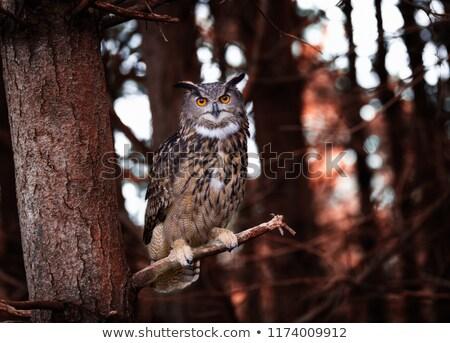 coruja · cara · natureza · laranja · pássaro - foto stock © capturelight