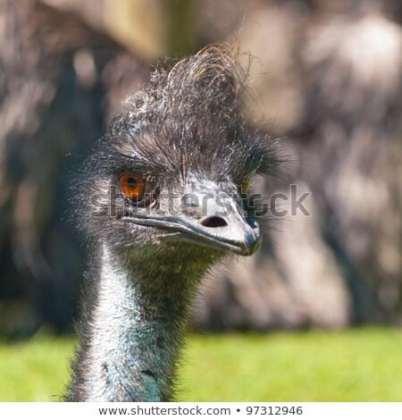 ダチョウ 動物園 顔 鳥 動物 ストックフォト © inxti