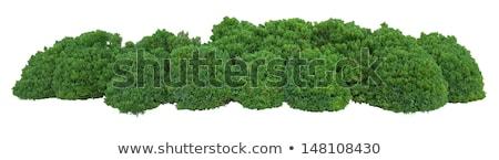 Arbusto isolado branco árvore natureza projeto Foto stock © shutswis