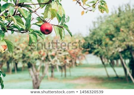 California jabłka drzewo jabłko wole żywności Zdjęcia stock © emattil