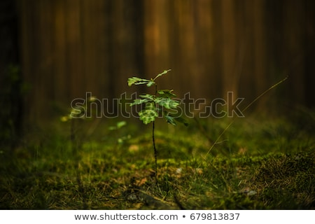 Young Oak Forest Stock photo © Suljo