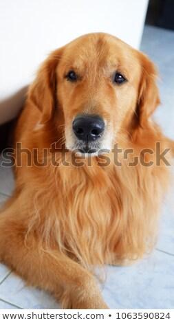 Mooie bruine hond vergadering donkere studio vloer Stockfoto © vauvau