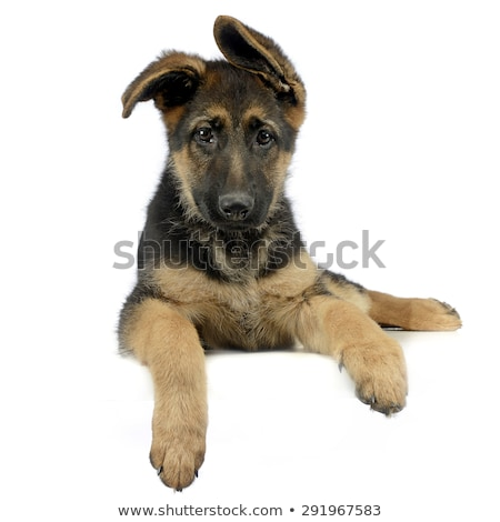 Vliegen oren puppy herder ontspannen witte Stockfoto © vauvau
