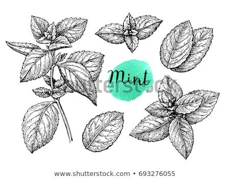 hand drawn vintage illustration of mint leaf stock photo © mamziolzi