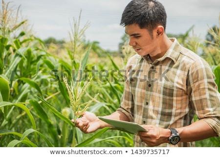 Agronomist using tablet computer in corn field during harvest Stock photo © stevanovicigor