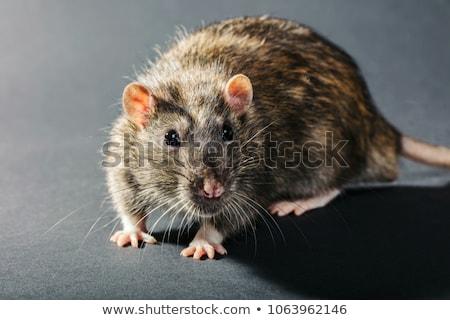 Giovani ratto studio nero pet Foto d'archivio © cynoclub