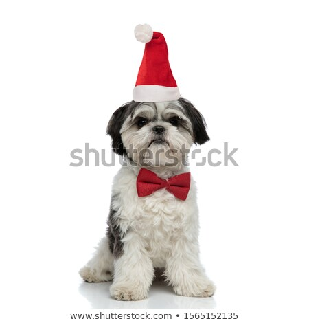 cute shih tzu wearing santa hat sits Stock photo © feedough