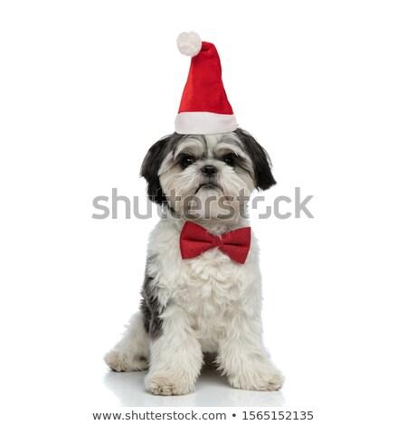 cute shih tzu wearing santa hat sits Stock photo © feedough