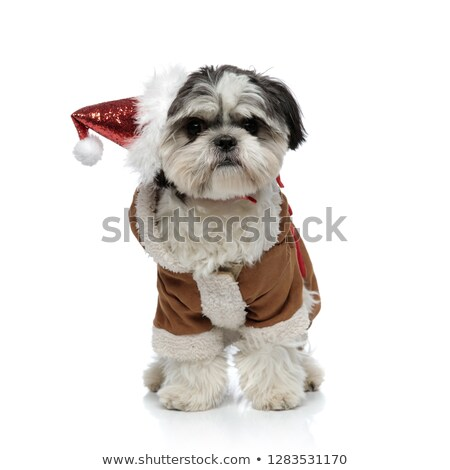 adorable santa shih tzu wearing warm winter costume standing Stock photo © feedough