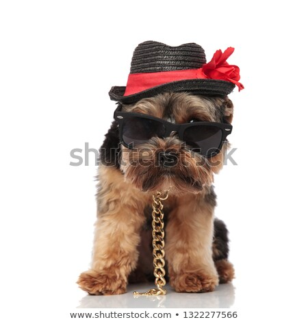 classy yorkshire terrier wearing sunglasses and hat looks to sid Stock photo © feedough