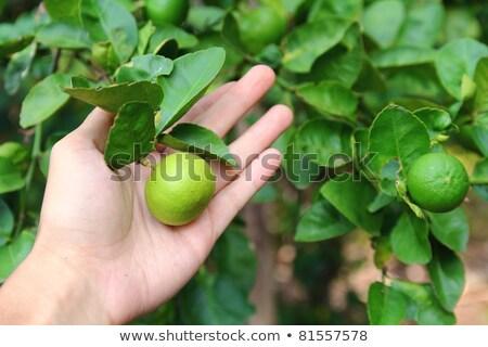 man harvesting lemons from a tree Stock photo © nito