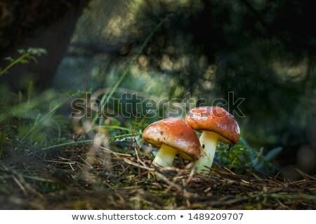 two mushrooms grows in dark sunlight Stock photo © romvo