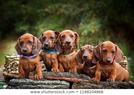 Portret cute teckel puppy geïsoleerd Stockfoto © vauvau