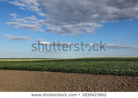 Green cultivated soybean field in late spring or early summer Stock photo © simazoran