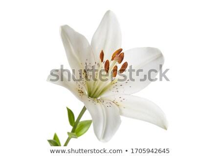 Lilly flower Stock photo © Vividrange