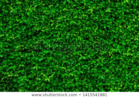 green hedge background texture Stock photo © clearviewstock
