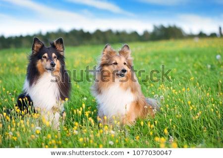 two cute shetland sheepdogs Stock photo © eriklam