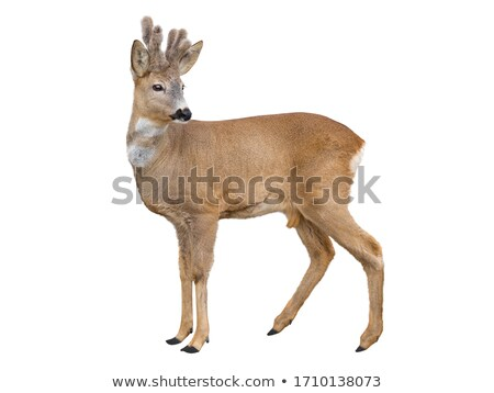 Stock photo: Young Red Deer Antlers