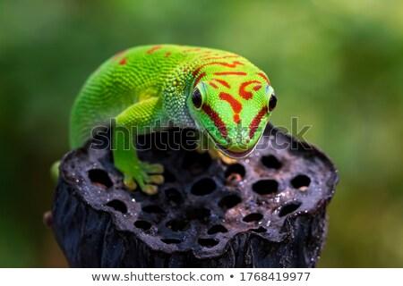 Nap gekkó közelkép lövés természet zöld Stock fotó © macropixel