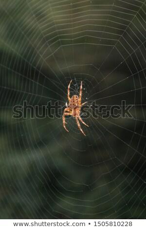 spinnenweb · kleurrijk · natuur · dier · achtergronden · macro - stockfoto © eldadcarin