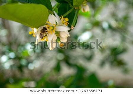 Black Bee Pollinating Lemon Tree Stock photo © rhamm