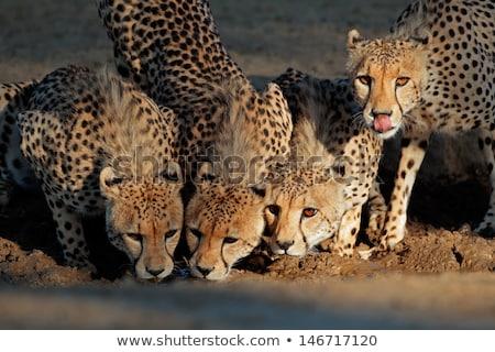 Gepárd vad macska iszik nyelv ki Stock fotó © fouroaks