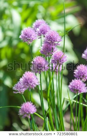 Fioritura impianto primavera natura verde Foto d'archivio © vanessavr