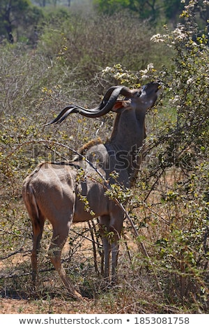 Greater Kudus (Tragelaphus strepsiceros) Stock photo © dirkr
